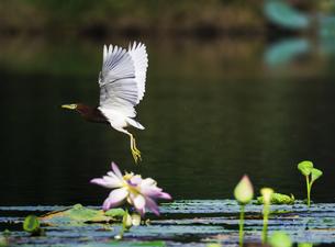 Bird flies over the lake and Lotus, Kunming, Yunnan, Chinaの写真素材 [FYI02351494]
