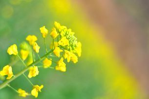 Rapeseed blossomsの写真素材 [FYI02351576]