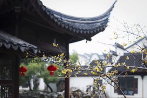 Plum blossom,Suzhou, Jiangsu, Chinaの写真素材 [FYI02351638]