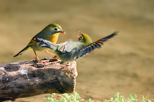Two Red-billed leiothrix talking to each other, Kunming, Yunnan, Chinaの写真素材 [FYI02351728]
