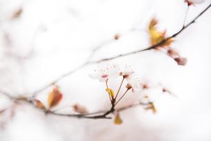 Sakura,Chinaの写真素材 [FYI02351804]