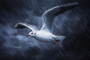 Seagull flies on the rain and wind, Kunming, Yunnan, Chinaの写真素材 [FYI02351805]