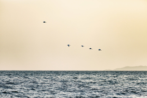 Seabird fly over the sea at the Sunsetの写真素材 [FYI02351850]