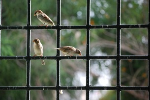 House sparrow stay at the window, Kunming, Yunnan, Chinaの写真素材 [FYI02351856]