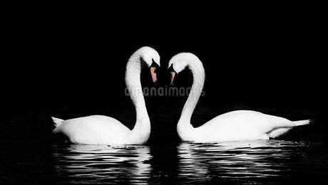 Swanの写真素材 [FYI02352086]