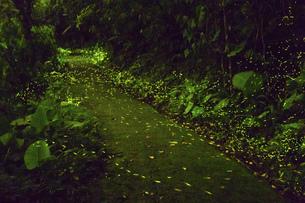 Taiwan ,Firefly,Fire Jingu,Insect,Miaoli County,Zhuolan Townの写真素材 [FYI02352434]