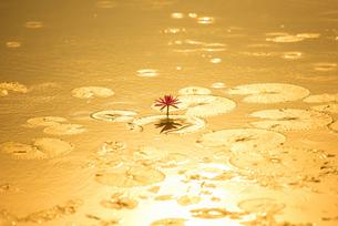 Waterlily on the pond under sunlight, Thailandの写真素材 [FYI02353105]