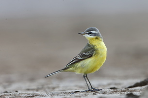 yellow wagtailの写真素材 [FYI02353260]