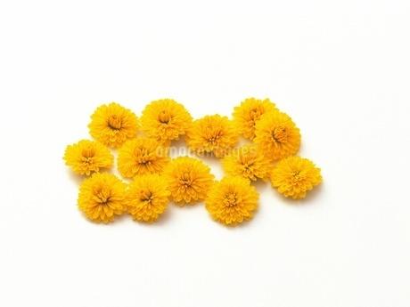 小菊の写真素材 [FYI02353903]