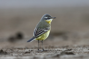 yellow wagtailの写真素材 [FYI02353973]