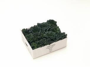 ミニター菜の写真素材 [FYI02354110]