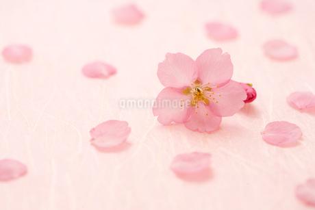 桜の花びらの写真素材 [FYI02356080]