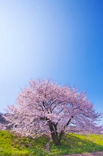 一本の桜の写真素材 [FYI02356195]