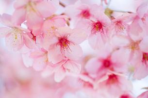 桜の写真素材 [FYI02356221]
