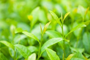 新茶の葉の写真素材 [FYI02356307]