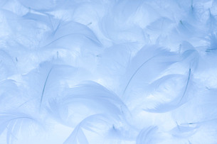 ブルーの羽毛の写真素材 [FYI02356344]