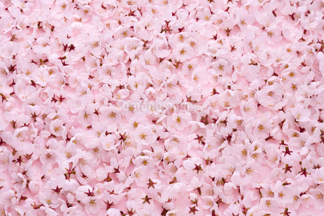 桜の花びらの写真素材 [FYI02356370]