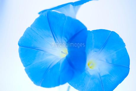 青いアサガオの写真素材 [FYI02356426]