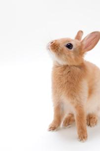 白バックのウサギの写真素材 [FYI02356499]