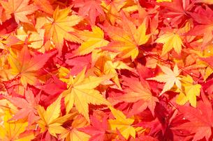 紅葉したモミジの写真素材 [FYI02356533]