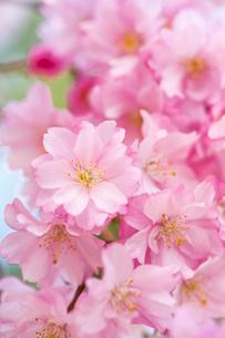桜の写真素材 [FYI02356545]