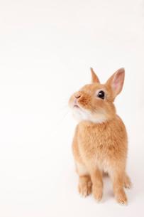 白バックのウサギの写真素材 [FYI02356574]