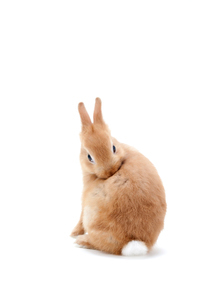 白バックのウサギの写真素材 [FYI02356640]