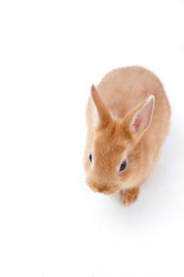 白バックのウサギの写真素材 [FYI02356736]