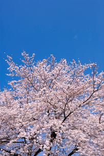 桜と青空の写真素材 [FYI02356749]