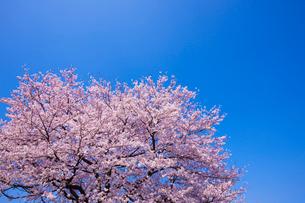 一本の桜の写真素材 [FYI02356759]