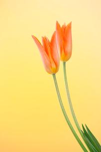 黄色いバックの二本のチューリップの写真素材 [FYI02356781]