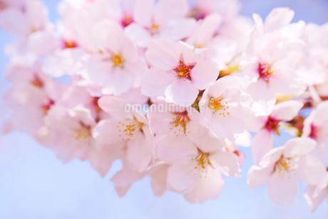 桜アップの写真素材 [FYI02356782]