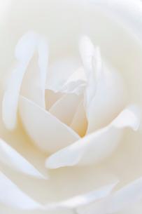 白いバラのアップの写真素材 [FYI02356848]