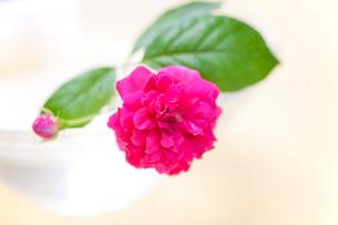 一本の赤いバラの写真素材 [FYI02356899]