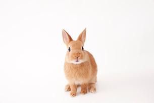 白バックのウサギの写真素材 [FYI02356923]