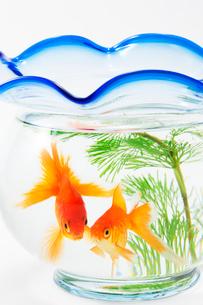 金魚鉢と二匹の金魚の写真素材 [FYI02356935]
