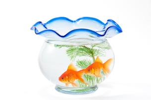 金魚鉢と二匹の金魚の写真素材 [FYI02357079]