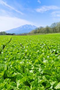 白菜の畑と浅間山の写真素材 [FYI02357237]