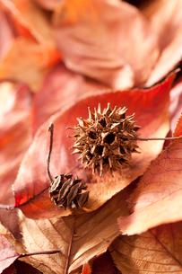桜の落ち葉とメタセコイアの実とアメリカフウの実(モミジバウフの写真素材 [FYI02357243]