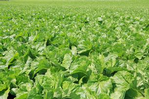 白菜の畑の写真素材 [FYI02357274]