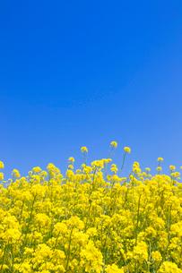 菜の花と青空の写真素材 [FYI02357292]
