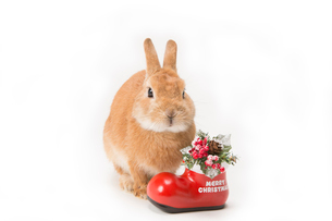 ウサギとクリスマスイメージの写真素材 [FYI02357391]