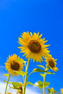ひまわりと青空の写真素材 [FYI02357397]