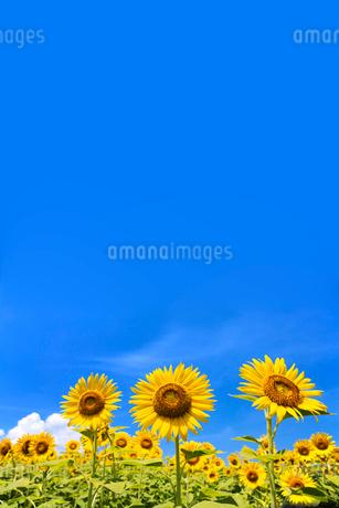 青空とひまわりの写真素材 [FYI02357541]