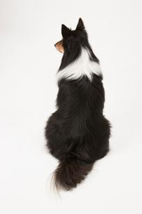 シェルティの後ろ姿の写真素材 [FYI02357604]