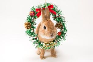 ウサギとクリスマスリースの写真素材 [FYI02357631]