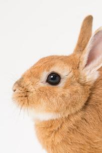 ウサギのアップの写真素材 [FYI02357649]