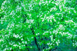 ヤマボウシの写真素材 [FYI02358015]