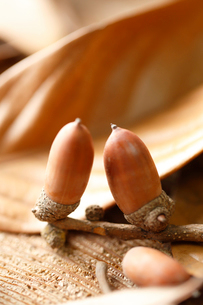 シラカシの葉とドングリの写真素材 [FYI02358168]
