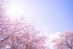 桜と青空の写真素材 [FYI02358206]